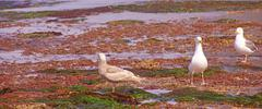Gulls forage in tide pools Stock Photos