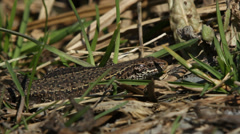 Viviparous lizard Stock Footage