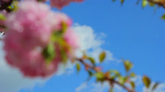 A sprig of sakura blossoms in spring,spring cherry blossom Stock Footage
