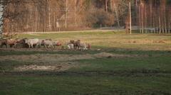 Cattle on farmland grass field Stock Footage