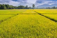 Golden rice farm of thailand Stock Photos