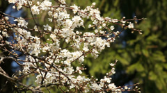 Springtime blossoming plum tree Stock Footage
