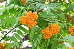 rowanberry branch - stock photo