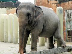Large Indian elephant eats tasty green grass. - stock photo