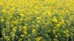 Agriculture, canola plant in field Stock Footage