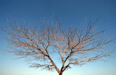 Bare tree on sky background  - stock photo