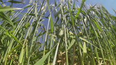 Italy - Grainfield Stock Footage
