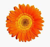 Orange gerber Stock Photos