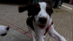 Stock Video Footage of gorgeous males puppies