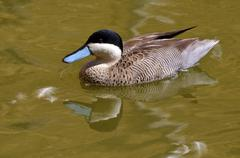 Puna teal swimming on water - stock photo