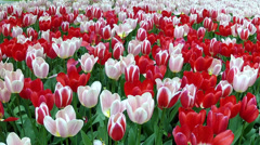 Red and white tulips in the park Keukenhof. Stock Footage