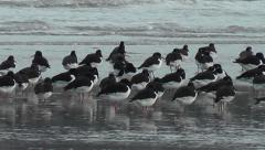 Oystercatchers resting on a beach Stock Footage