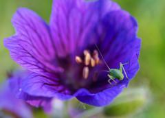 Grasshopper on a flower - stock photo