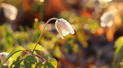 Anemone nemorosa flowers, headlight Stock Footage