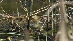 Grass snake (Natrix natrix) Stock Footage