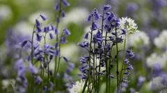 Close up of purple bellflowers Stock Footage