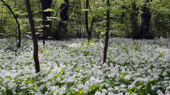 Blooming white chives in a spring forest Stock Footage