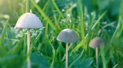 Magic Mushrooms In A Row Green Grass Stock Footage