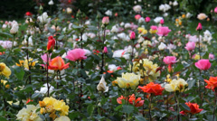 Beautiful garden with colored roses Stock Footage