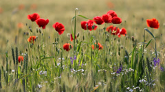 Beautiful blossom field, red poppies, purple flowers and green plants Stock Footage