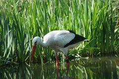 stork wading in water - stock photo