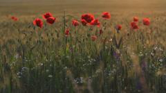 Wheat field with red poppies on the sunset, magic nature Stock Footage