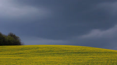 Piece of beautiful nature, yellow flourish field and dark clouds move on the sky Stock Footage