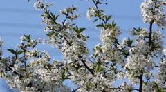 Blossom tree branches and blue serene sky Stock Footage