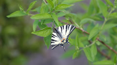 Single butterfly sit on green leaves, beautiful nature Stock Footage
