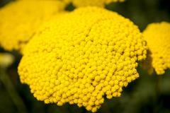 Stock Photo of basket of gold, (aurinia saxatilis) in spring