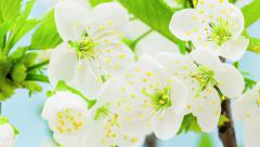 Cherry Flower Blossoming Time Lapse Stock Footage