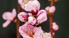 Peach flower blossoming timelapse Stock Footage