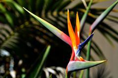 bird of paradise flower - strelitzia reginae - stock photo