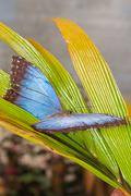 Morpho Menelaus Butterfly, Tropical Rainforest Stock Photos