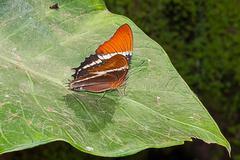 Adelpha Cytherea Linnaeus butterfly, amazonia rain forest, Ecuador Stock Photos
