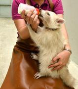 Zookeeper feeding baby albino raccoon Stock Photos