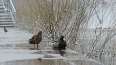 Duck and drake on the waterfront in bad weather. Ekaterinburg. Russia. 1280x720 Stock Footage