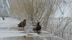 Duck and drake on the waterfront in bad weather. Ekaterinburg. Russia Stock Footage