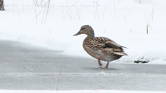 Duck quickly runs under snowing. Ekaterinburg. Russia Stock Footage
