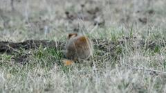 Ground squirrels Stock Footage
