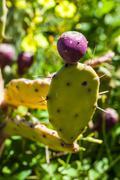 Juicy prickly pear Stock Photos