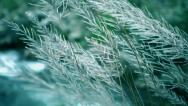 Stock Video Footage of HD: Long grass swaying in the wind.