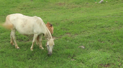 Stock Video Footage of horse eat grass