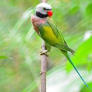 male red-breasted parakeet - stock photo