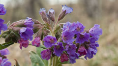 The siberian primroses- pulmonaria Stock Footage
