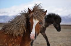 Icelandic horse strong hardy animal - stock photo