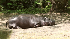 Hippopotamus sleeping Stock Footage
