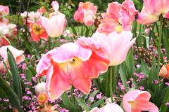 spring tulips in st regents park, london, england - stock photo