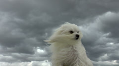 Strong Strom Winds Ruffle Dog Fur Stock Footage