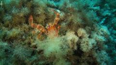 Underwater footage Corsica, mediterranean, crustacean - stock footage